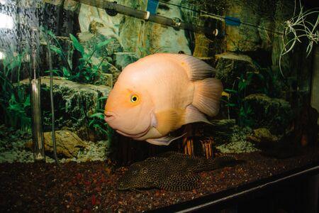 Fish in an aquarium against the background of algae. The bottom is strewn pebbles. Archivio Fotografico - 138045833