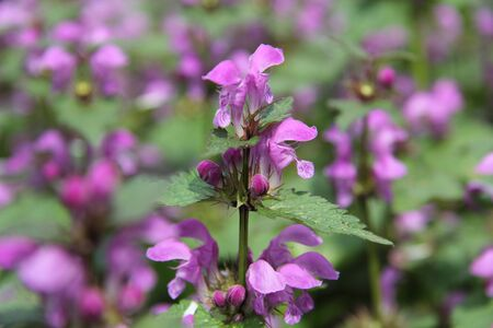 Closeup of Lamium orvala a thorn of large, velvety purple-pink flowers with a hood, separated by large heart-shaped medium-green leaves of the archangel with balm