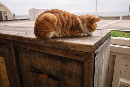 A red and white cat lies curled up on a wooden platform. You can see the cat's nose. The cat is resting after a night hunt
