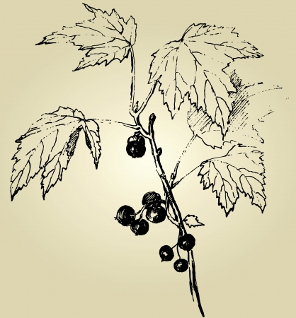 currants: hand drawn blackcurrant  Illustration