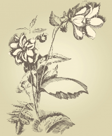 old pencil: hand drawn dahlia flower  Illustration