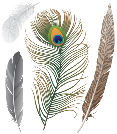 the crows: Close-up of 4 bird feathers Illustration