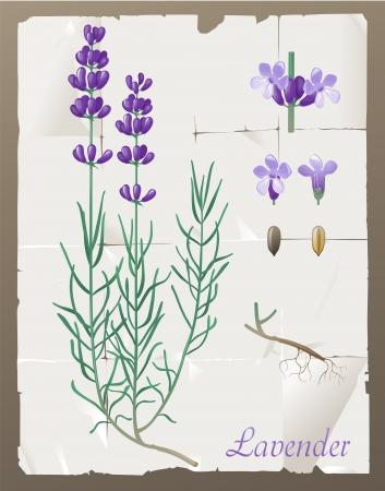 fiori di lavanda: Retro-stile di disegno botanico lavanda