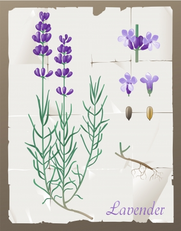 Retro-styled lavender botanical drawing Vector