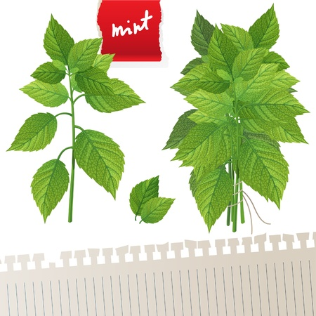 Highly detailed mint branch and mint bunch with place for your text Vector