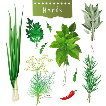herb garden: Fresh herbal bunches over white background Illustration