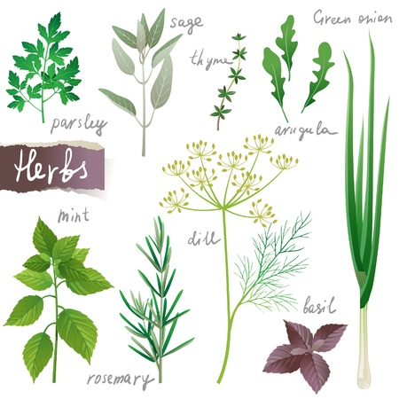 Aromatic herbs set Vector