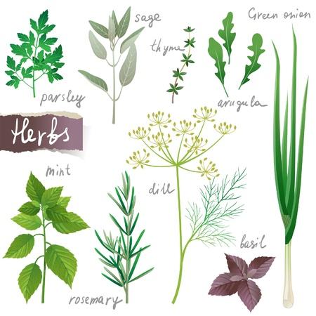 basilic: Les herbes aromatiques mis en Illustration