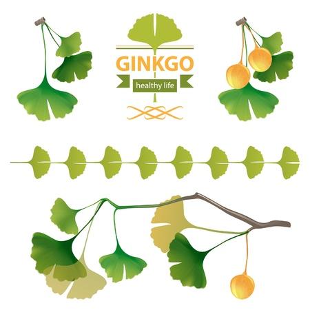 ginkgo leaf: Bright ginkgo biloba design elements