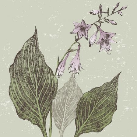 Hand drawn hosta flower in retro style Stock Vector - 21377522