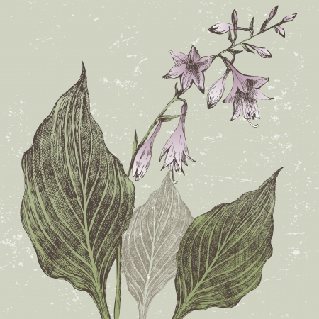 perennial: Hand drawn hosta flower in retro style Illustration