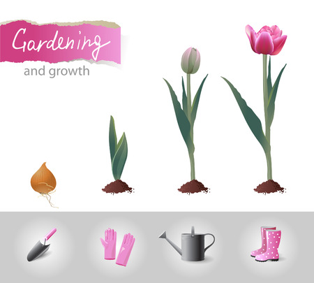 cultivation: Growing tulip and gardening icons