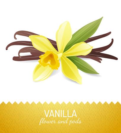 flor de vainilla: flor de la vainilla y las vainas sobre fondo blanco Vectores