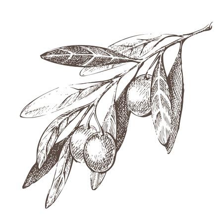 aceite de oliva virgen extra: Dibujado a mano la rama de olivo sobre fondo blanco Vectores