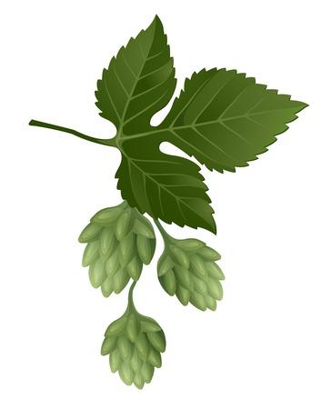 vine and leaves of vine: hop brunch for your designs Illustration