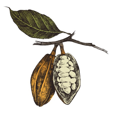 tropical plant: dibujados a mano los granos de cacao en el estilo vintage