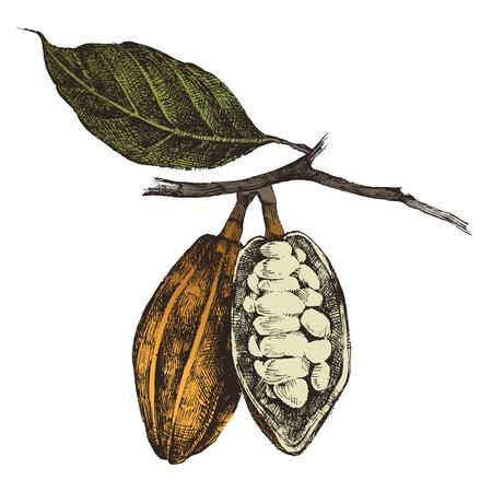 pflanze wachstum: Hand gezeichnete Kakaobohnen im Vintage-Stil
