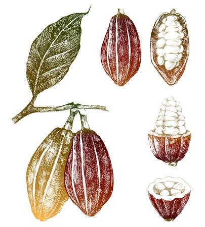 Dibujados a mano los granos de cacao fijaron en el color Foto de archivo - 32610140