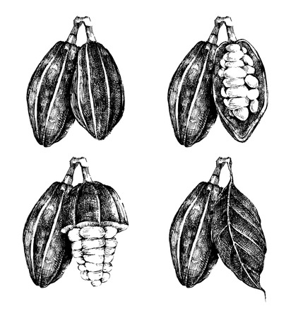 pods: hand drawn cocoa beans set in vintage style