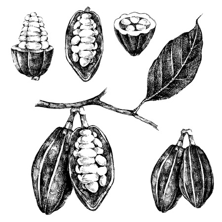 cocoa pod: hand drawn cocoa beans set in vintage style