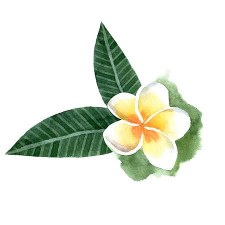 Hand drawn watercolor frangipani flower