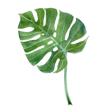 수채화 손으로 그린 몬스 테라 잎 일러스트
