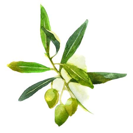 rama de olivo de la acuarela con aceitunas verdes Vectores