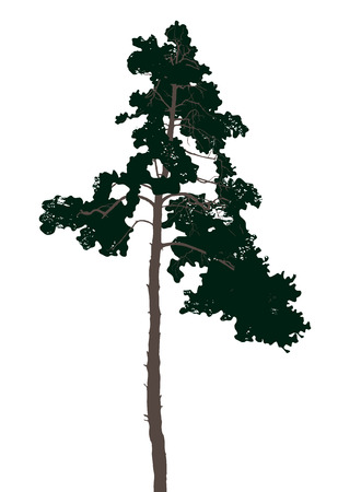 albero pino: Pino altamente dettagliata su sfondo bianco Vettoriali
