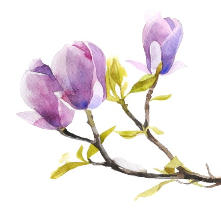 magnolia tree: Watercolor magnolia flowers on white background