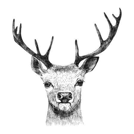 white tail deer: Hand drawn deer on white background
