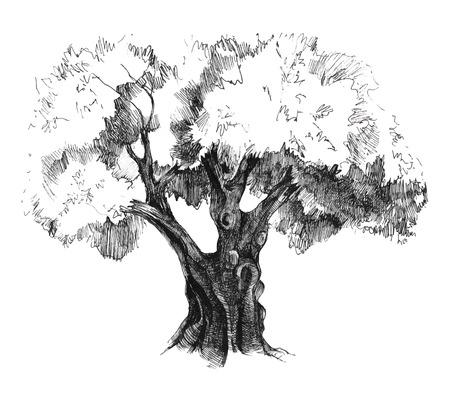 옛 손으로 그린 올리브 나무 일러스트