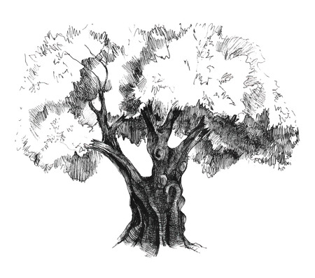 olivo arbol: Antiguo dibujado a mano olivo