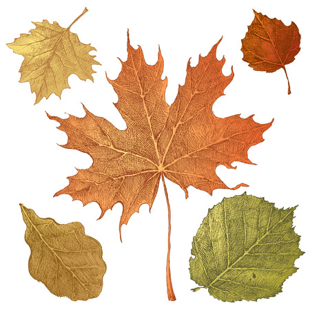 guelder rose: 5 hand drawn autumn leaves on white background
