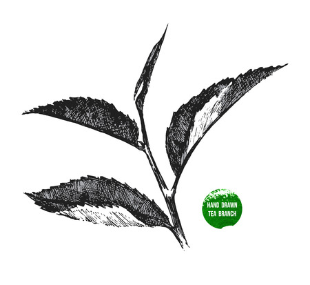 green and black: hand drawn tea leaf on white background