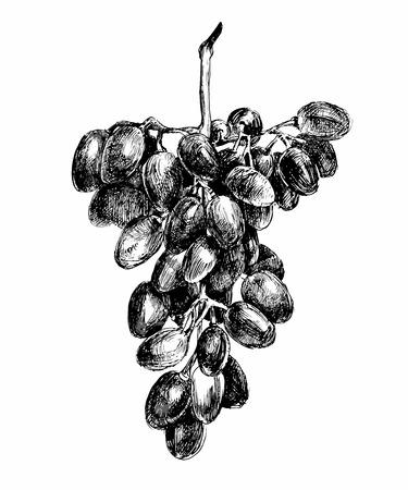 wine grape: grapes in black and white color Illustration