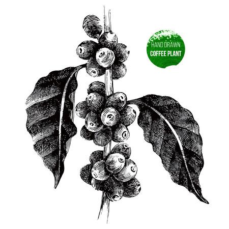 chicchi di caff?: disegnati a mano caffè ramo di un albero in stile vintage