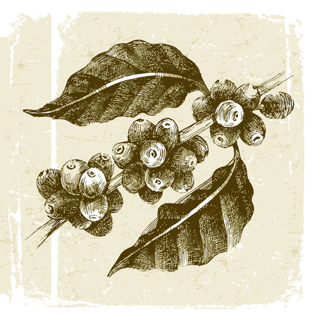 coffee beans: hand drawn coffee tree branch in vintage style