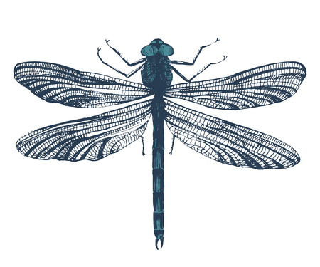 anisoptera: Hand drawn dragonfly on white background