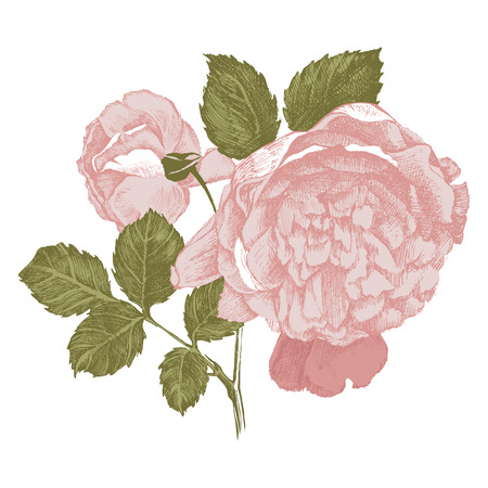 highly detailed vintage hand drawn roses on white background