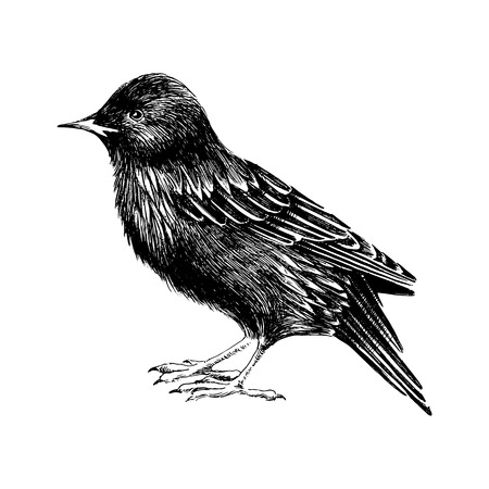 starling: hand drawn black and white starling
