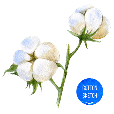 cotton plant: Hand drawn watercolor cotton plant on white background Stock Photo