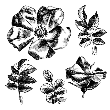 buds: Hand drawn black and white rose-hip flowers and leaves