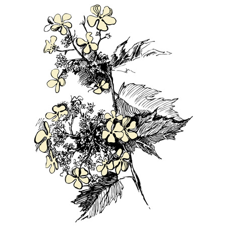 guelder: Guelder rose sketch on white background Illustration