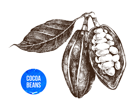 hand drawn cocoa beans on white background