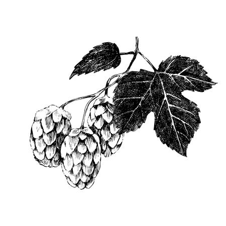 hop hops: Hand drawn hop plant