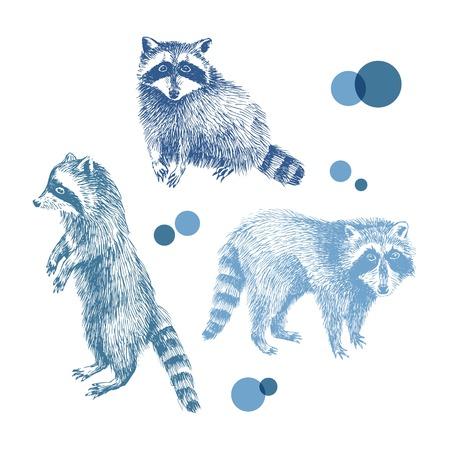 raccoons: 3 hand drawn raccoons. Illustration