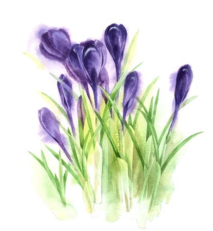 macro flowers: Hand drawn watercolor crocuses