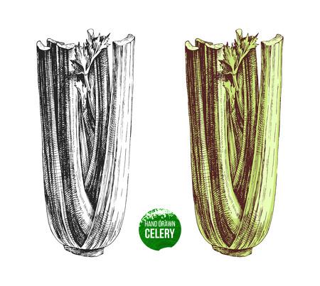 Hand drawn celery illustration.