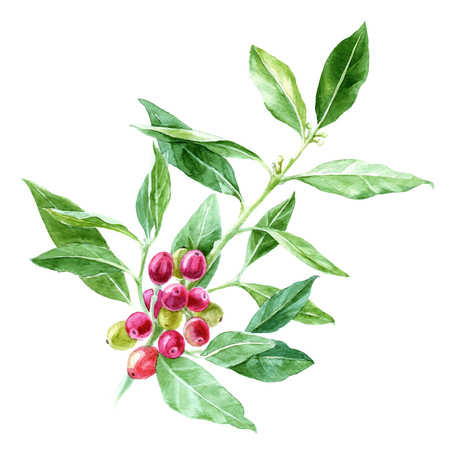 Hand drawn watercolor coffee plant