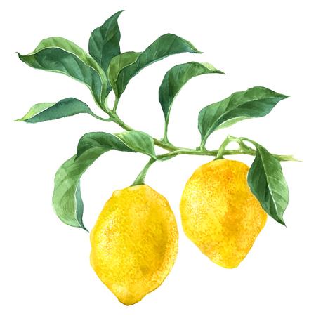 水彩のレモンの木の枝  イラスト・ベクター素材